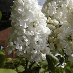 Plant of the month – Lilac
