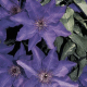 Clematis - The President