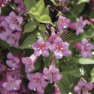 Weigela Florida Rumba
