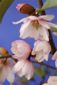 Fairy-Magnolia-Blush