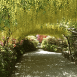 Laburnum arch confused by weather
