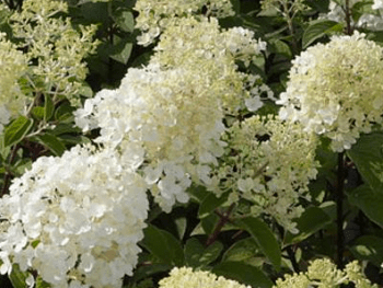 Hydrangea Paniculata Bobo - Thompson and Morgan