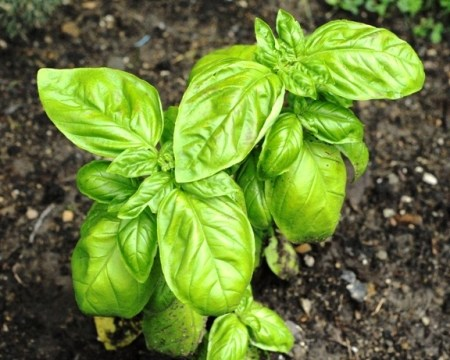 how to grow basil in a pot from seeds