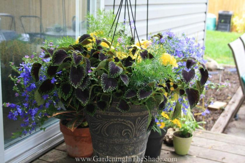 Purchased Hanging Basket set into an Urn