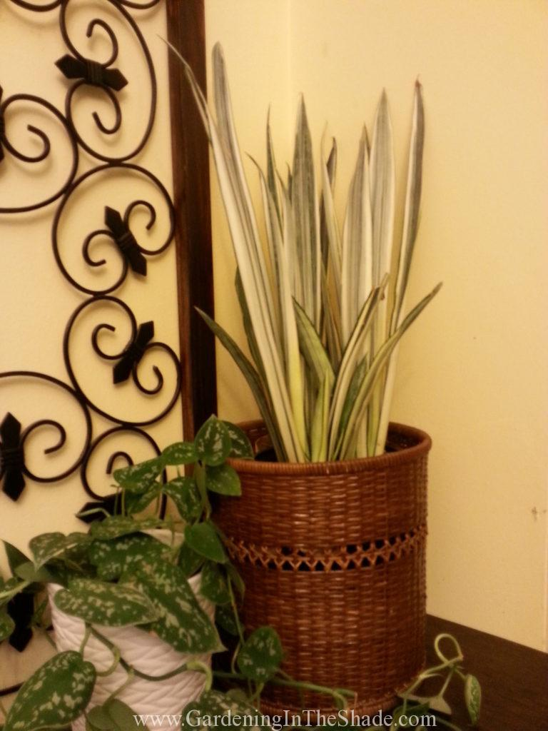 White and Green Snake Plant