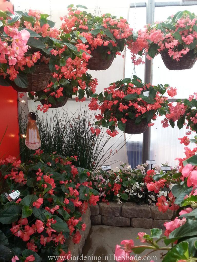 Dragon Wing Begonia in Hanging Baskets