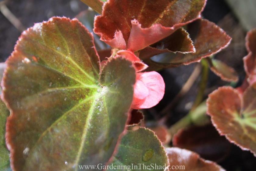 Megawatt Pink Bronze Leaf (7)
