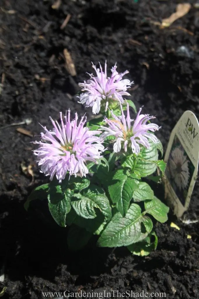 Monarda Leading Lady Lilac, Cutest Bee Balm Ever