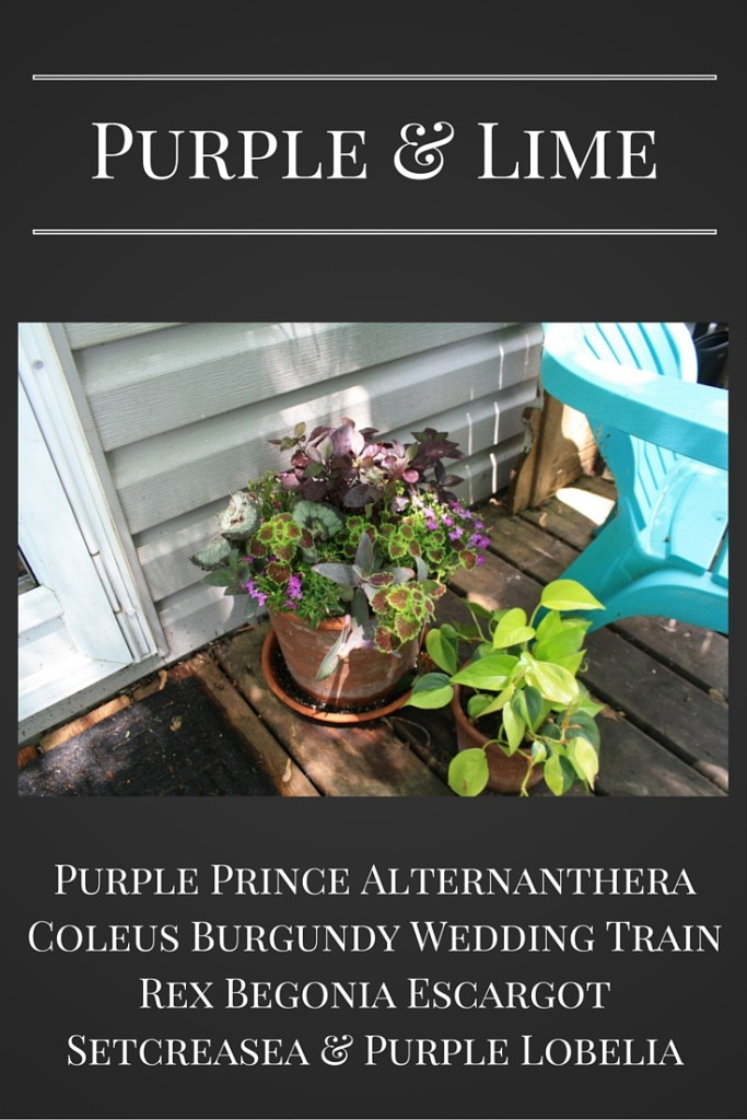 Purple Prince Alternanthera Planter