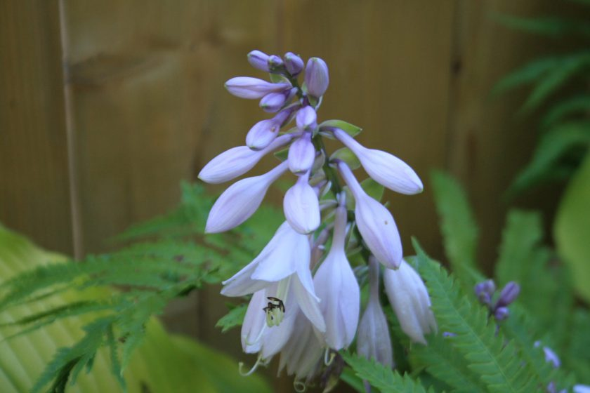 Hosta 'Sun Power' Flower