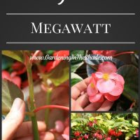 Megawatt Begonia, Biggest of the Big