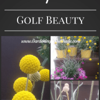 Craspedia 'Golf Beauty'