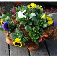 Spring Pansies, Another Turtle Topiary