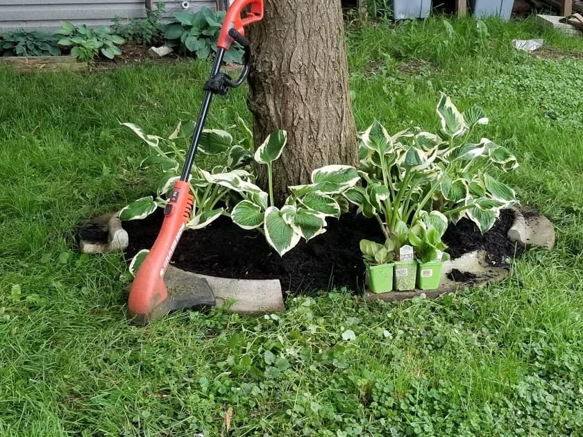 How To Divide Hosta For Transplanting Gardening In The Shade