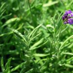 Tips For Growing Lavender Herb Plants
