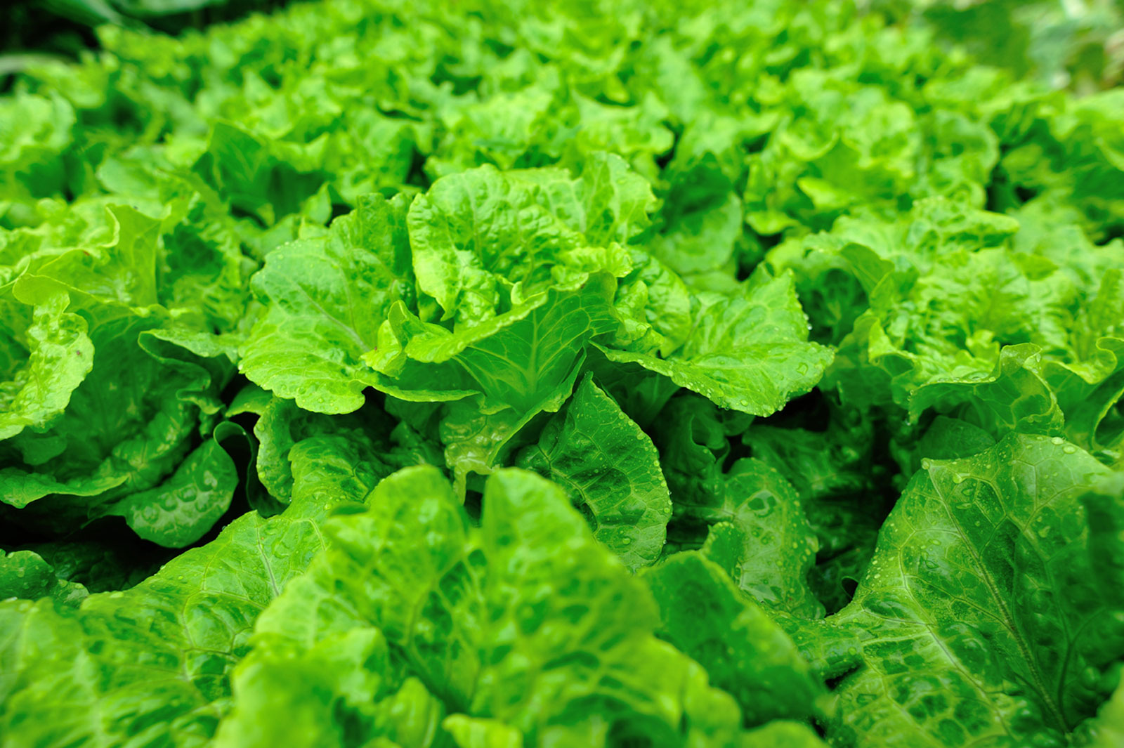 Lettuce Growing Season How And When To Plant Lettuce