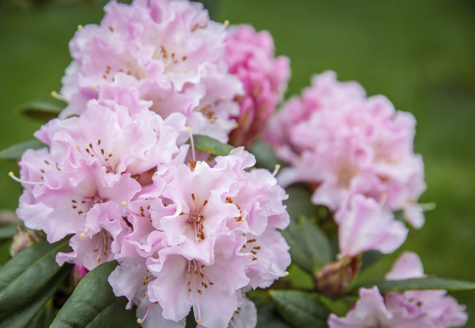 Rhododendron Care Tips On How To Grow A Rhododendron Bush