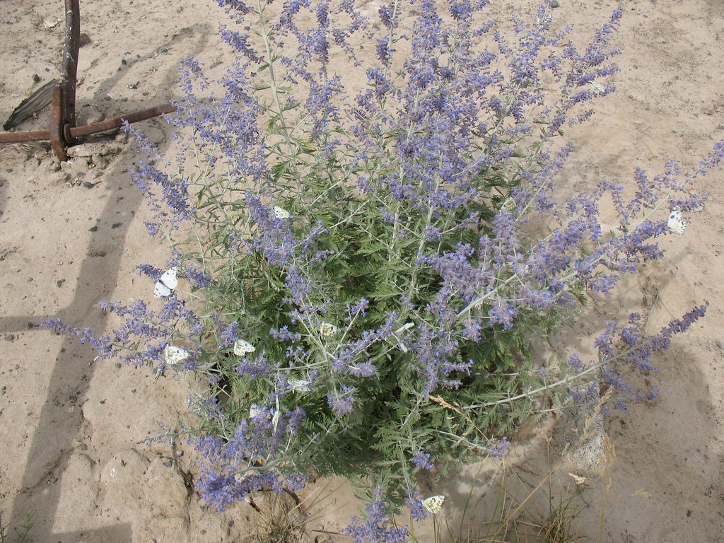 Russian Sage Plants How To Grow And Care For Russian Sage