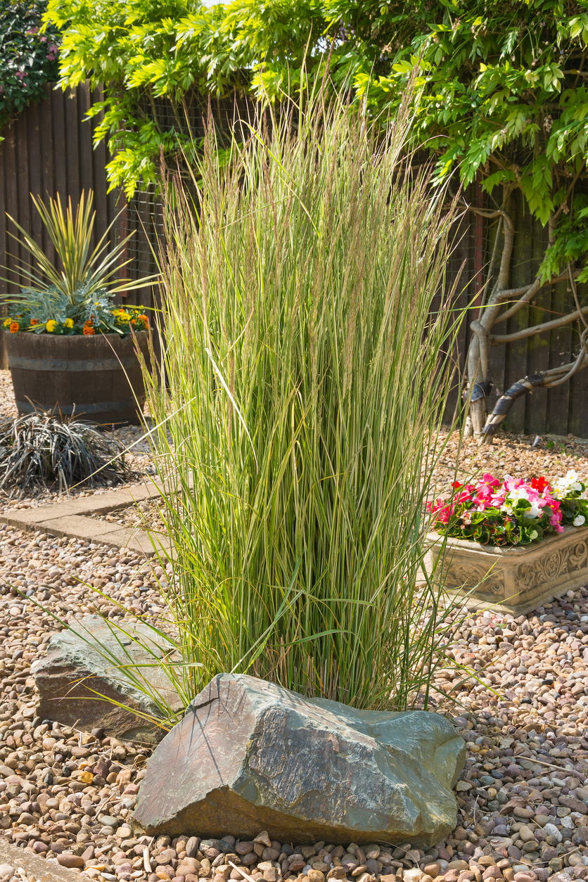 Ornamental Grass Plumes How To Get An Ornamental Grass To Plume