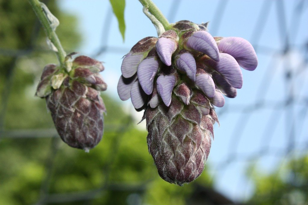 Wisteria Won T Bloom How To Get Wisteria Flowers To Open Up