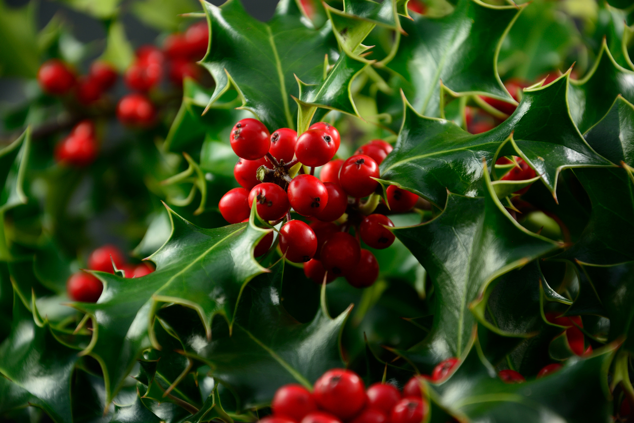 Holly Varieties What Are Some Different Types Of Hollies