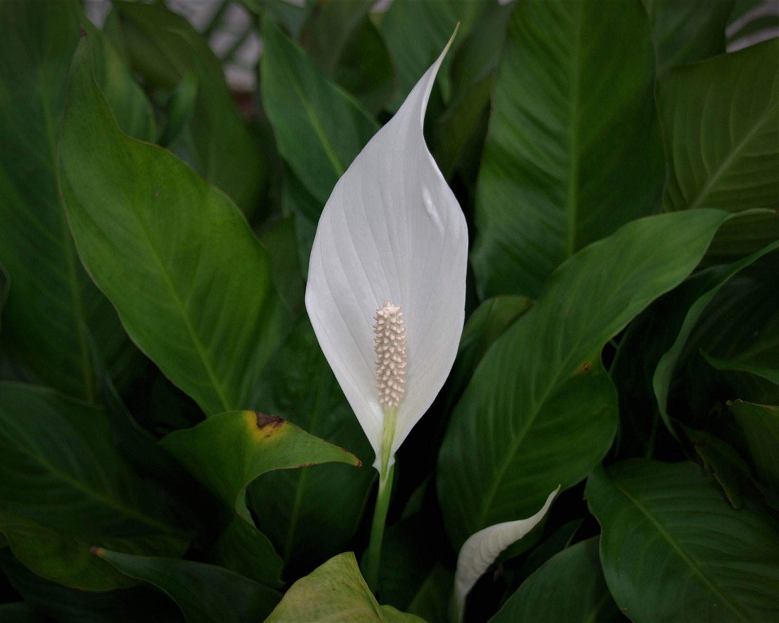 My Peace Lily Won T Flower How To Get A Peace Lily Plant To Bloom