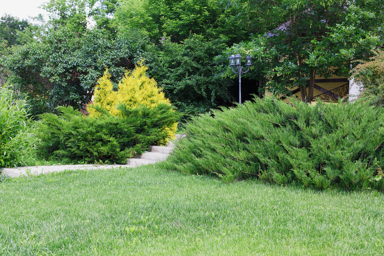 Types Of Evergreen Bushes Common Evergreen Shrubs For Landscaping