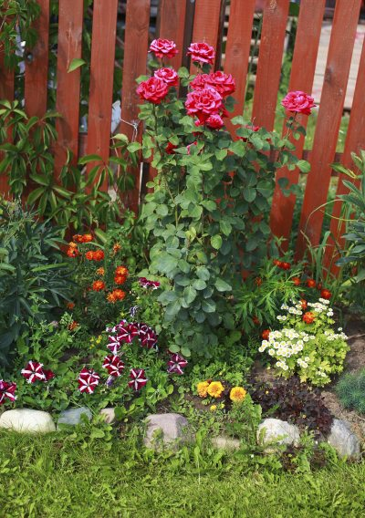 Underplanting Rose Companions Suggestions For Plants That Grow