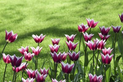 Preventing Deer From Eating Tulips How To Keep Deer From Eating