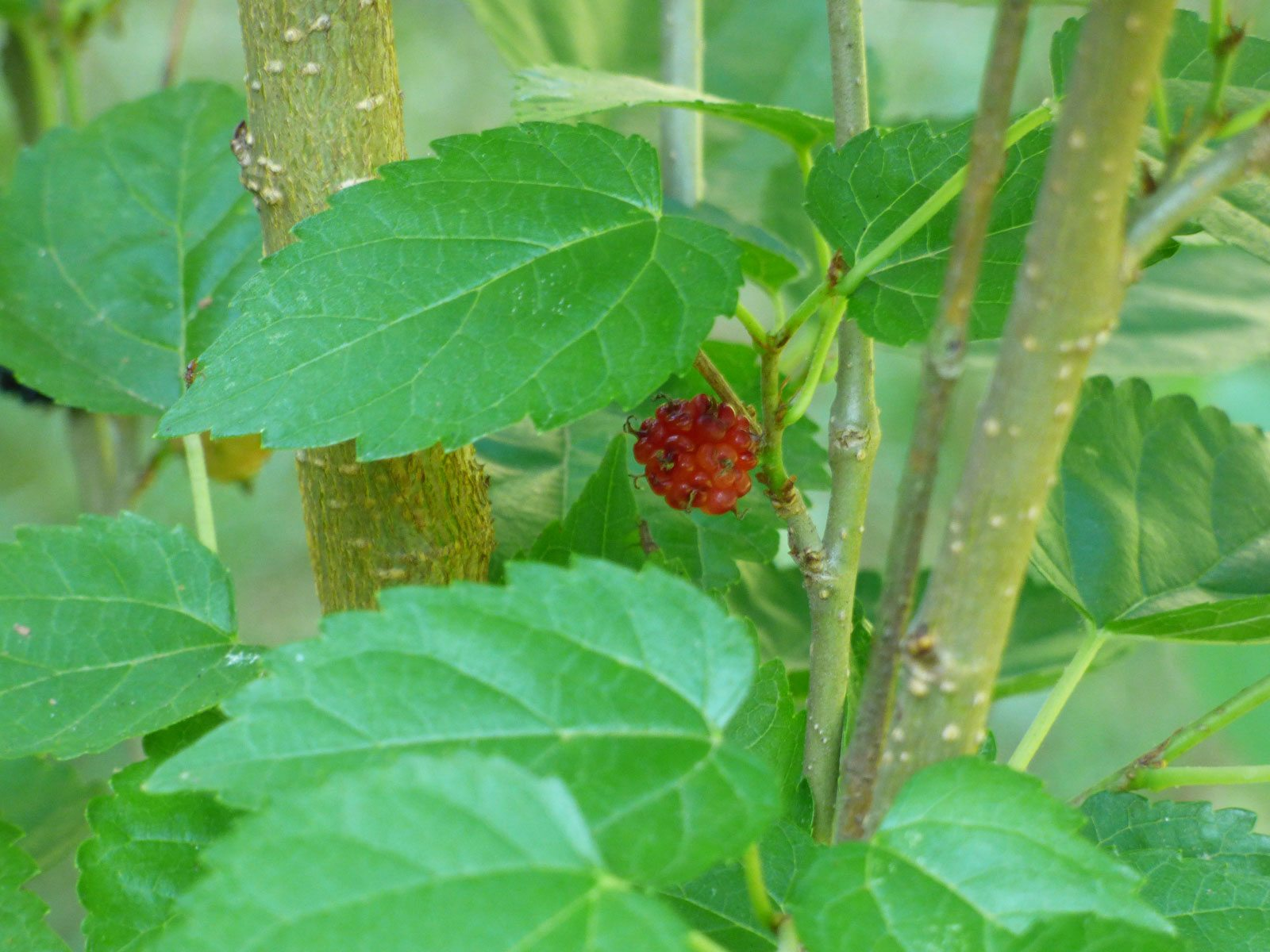 Growing Mulberry Fruit Trees How To Care For A Mulberry Tree