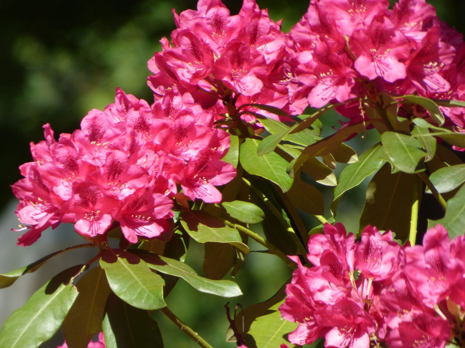 Fertilizing Rhododendron Bushes Learn How And When To Feed A