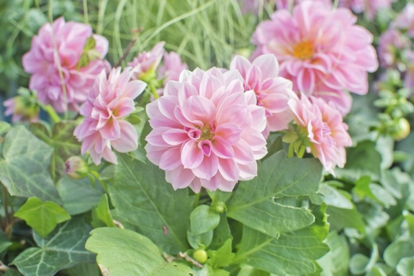 Dahlia priceless pink produces a profusion of miniature waterlily flowers with brilliant white petals adorned with violet-pink stripes around their edges.