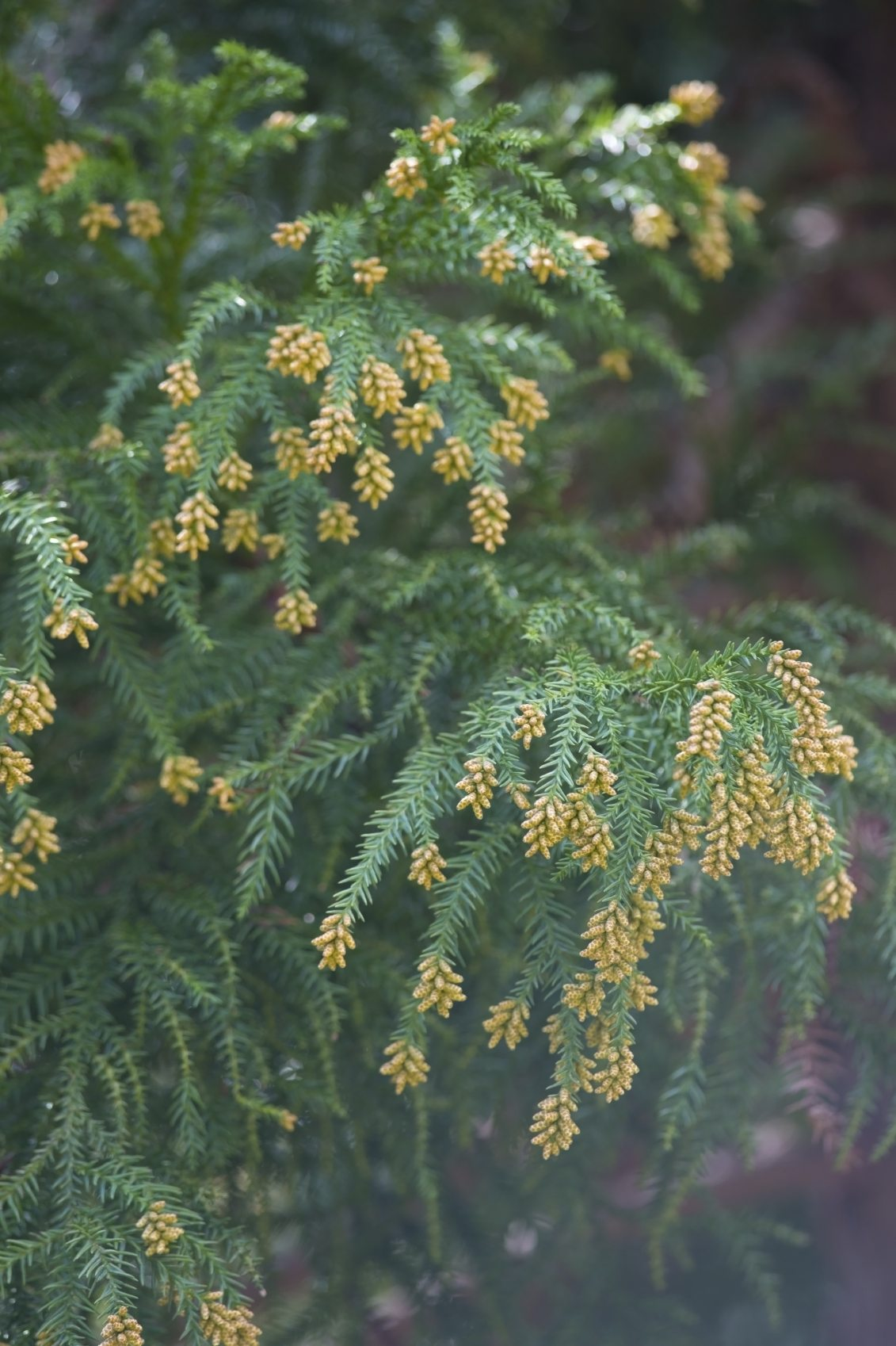 Japanese Cedar Tree Care And Pruning Learn About Planting