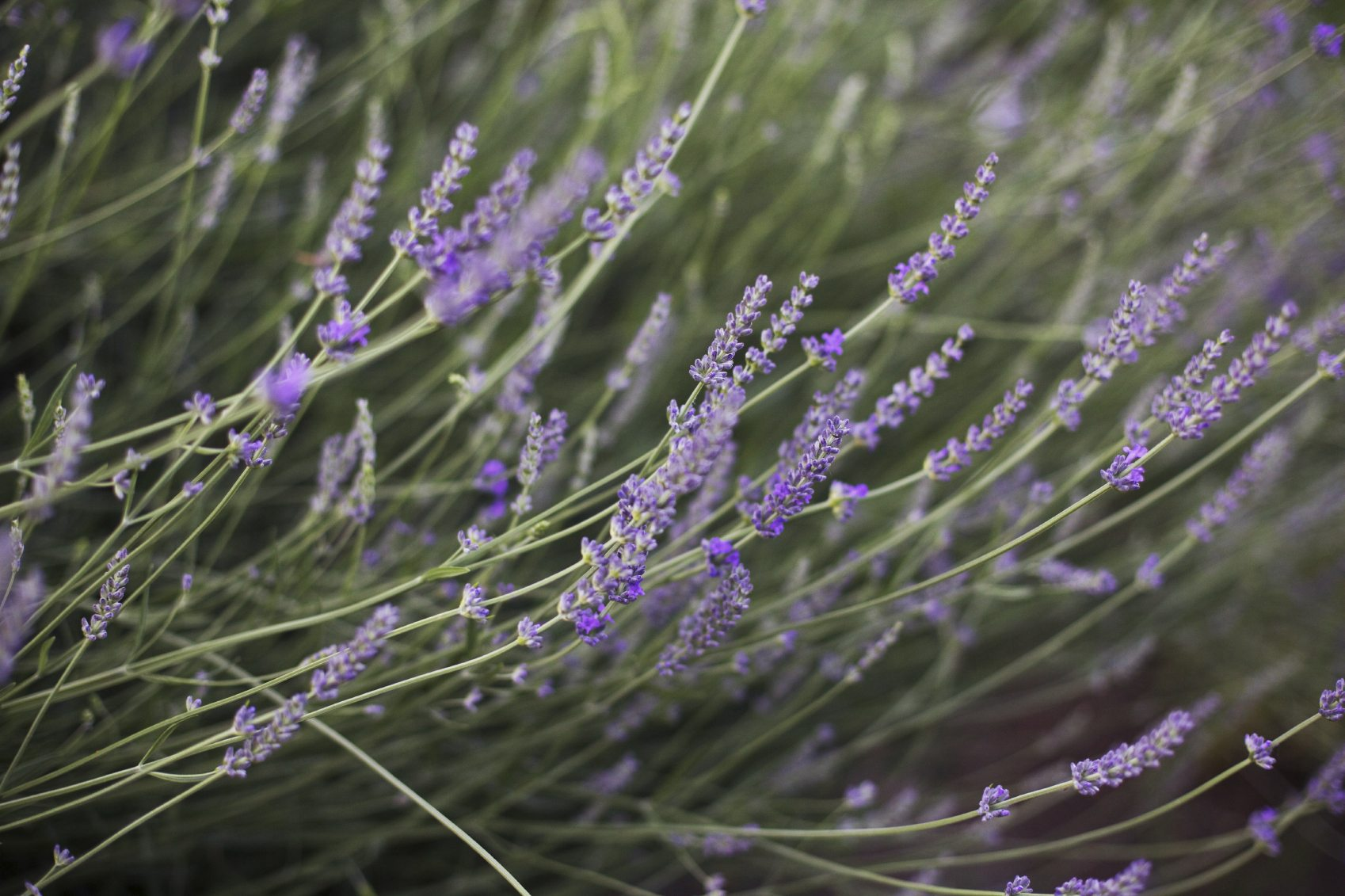Lavender Flowers Drooping Fixing Droopy Lavender Plants In The