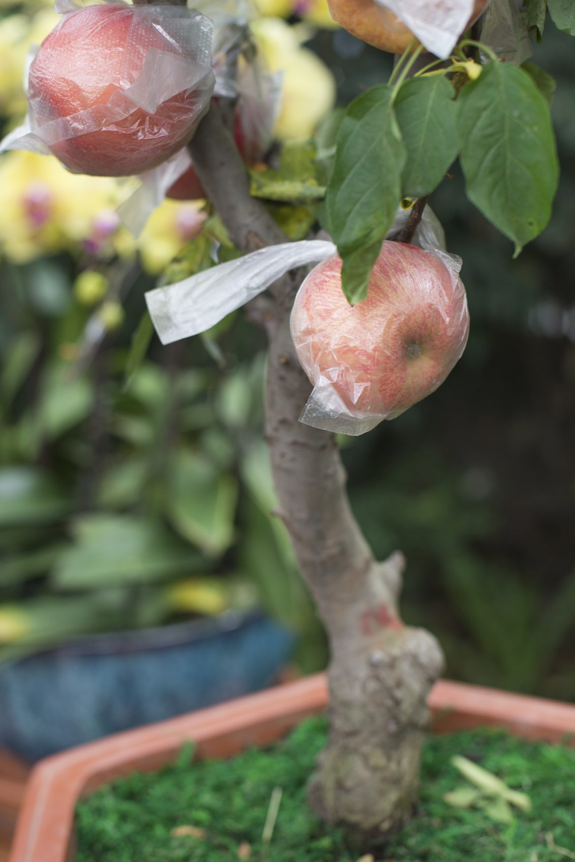Can You Grow Apple Trees In Containers Tips On Growing Apple