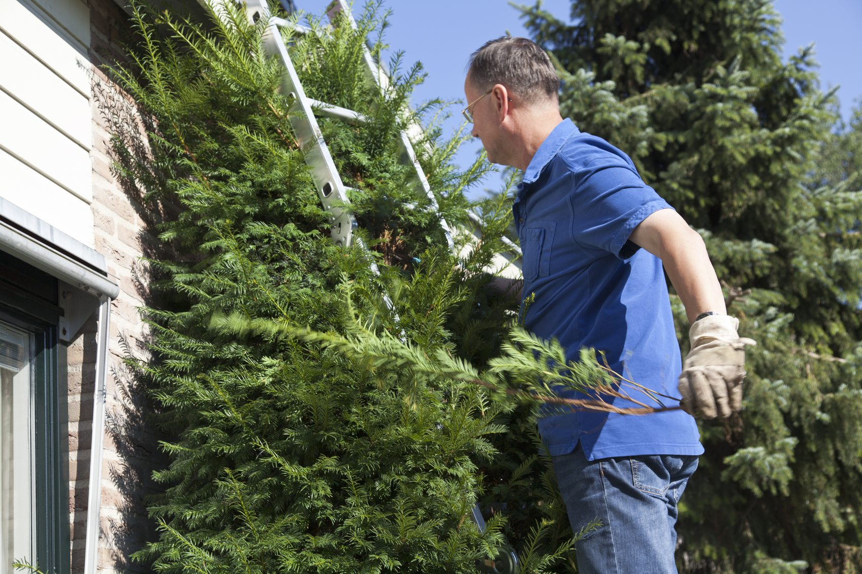 Tips On Pruning Japanese Yews Cutting Back Japanese Yews In The