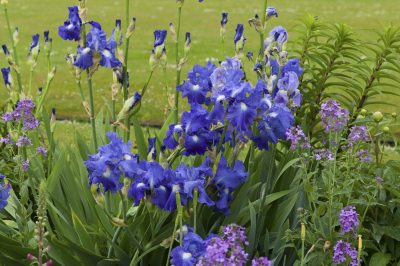 Good Companion Plants For Iris Learn What Flowers To Plant With Iris