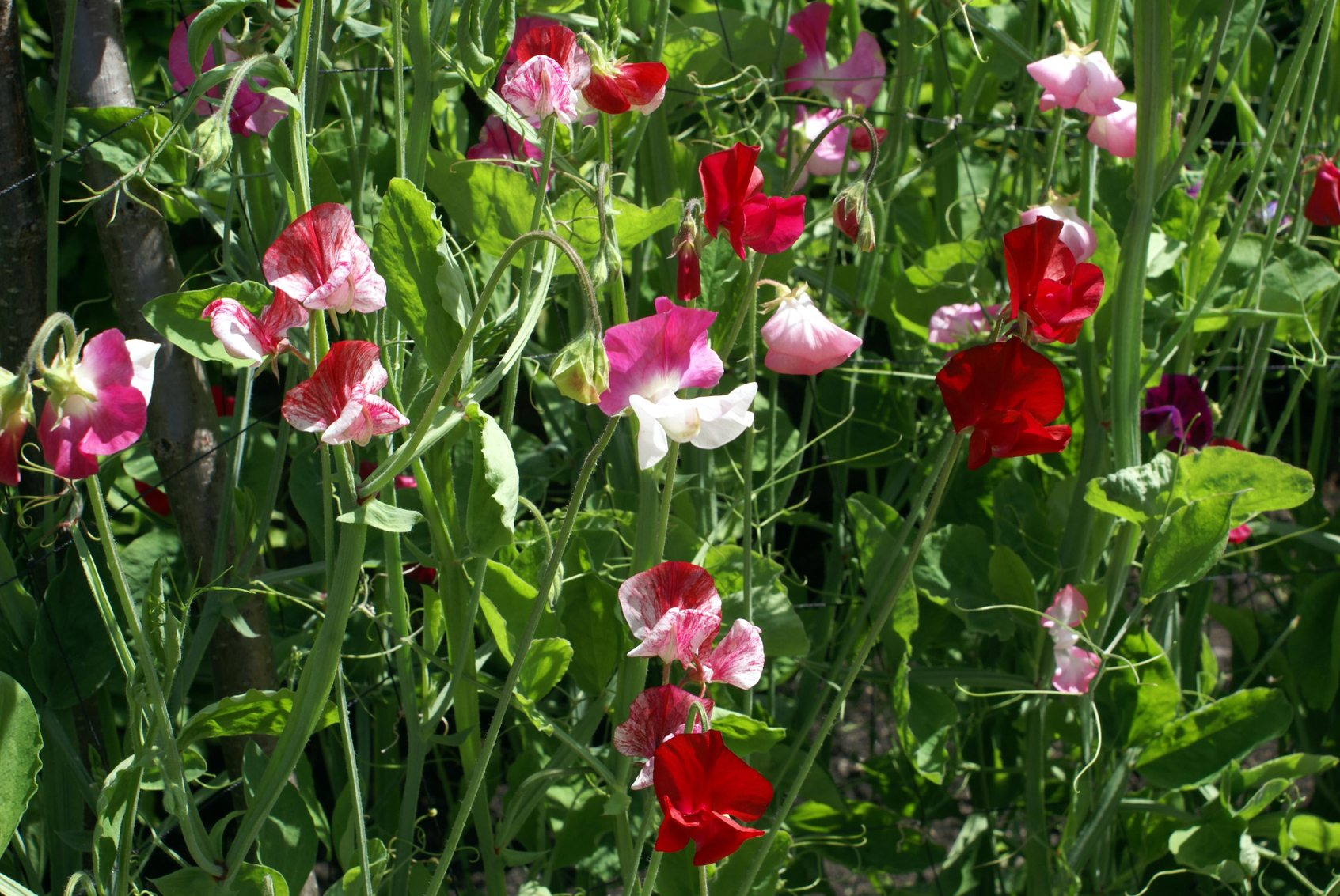 No Flowers On Sweet Peas What To Do For Sweet Pea Flowers Not