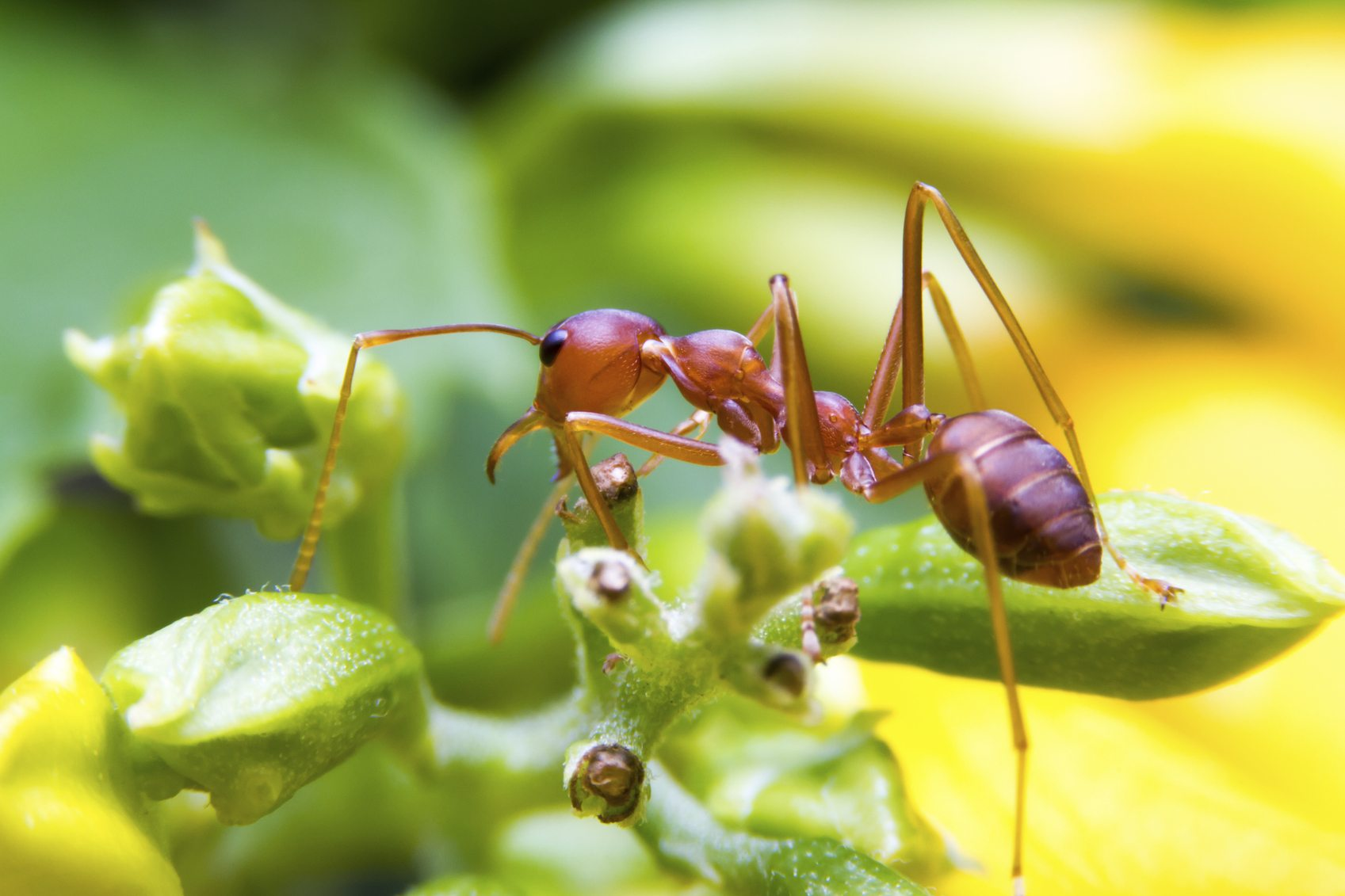 Dealing With Fire Ant Pests  Learn How To Control Fire