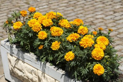 Potted Marigold Plants Learn How To Grow Marigolds In Containers