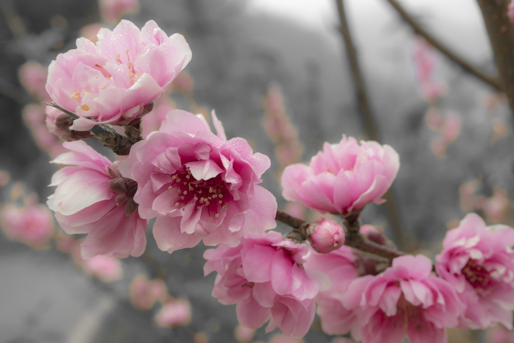 Ornamental Peach Trees Do Flowering Ornamental Peach Trees Bear