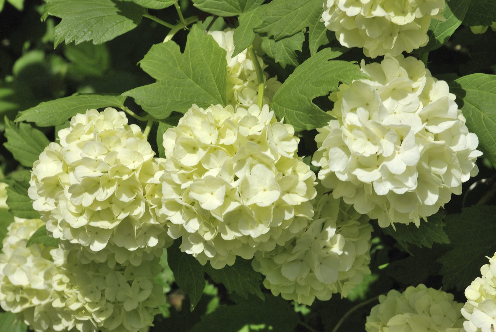 Snowball Viburnum Vs Hydrangea Learn The Difference Between