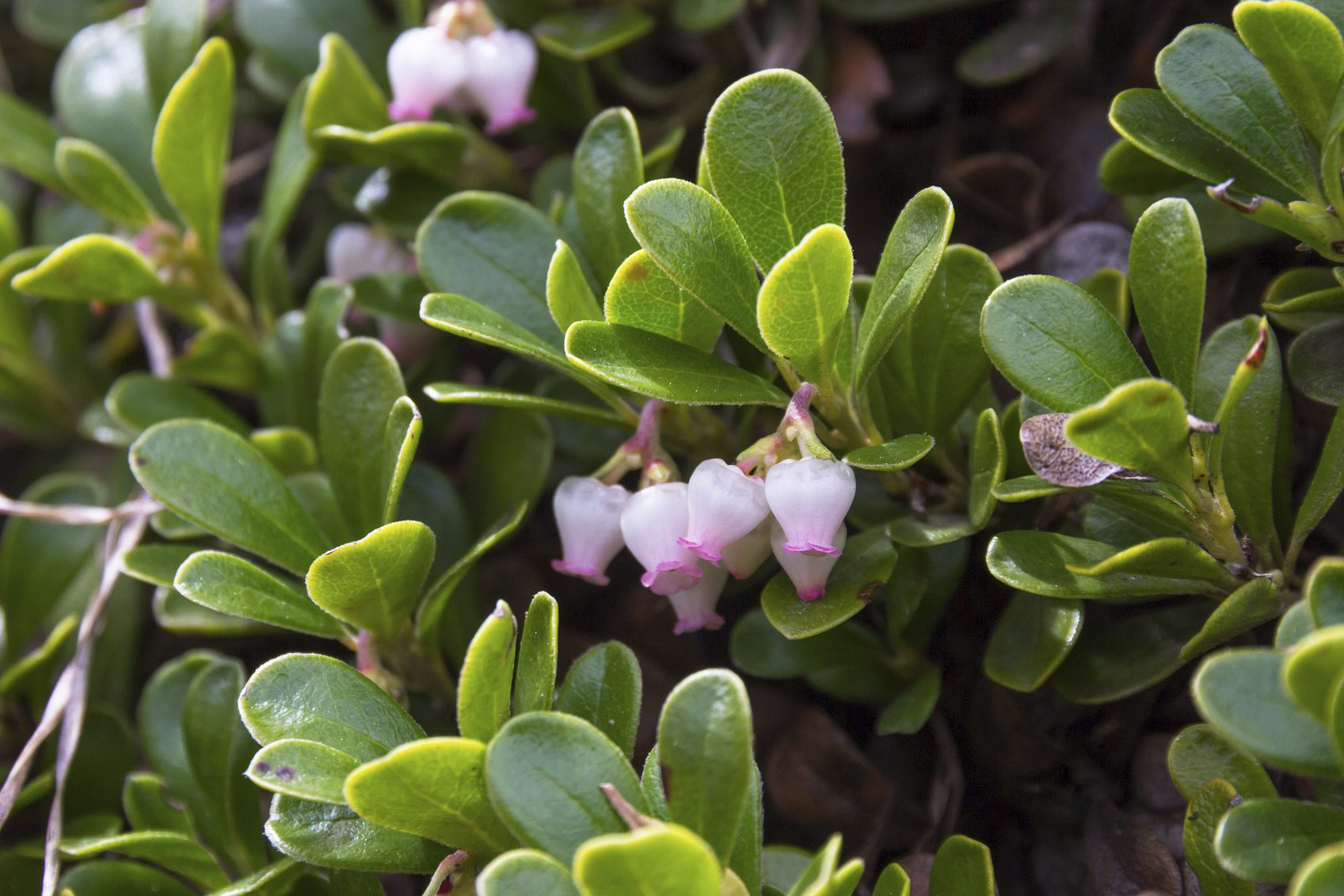 Cold Hardy Evergreen Shrubs Choosing Evergreen Shrubs For Zone 4