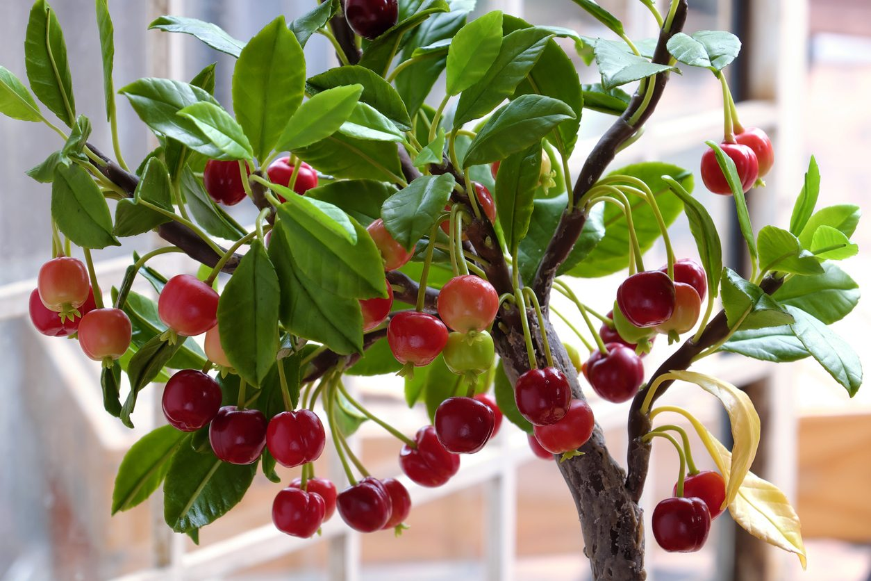 Caring For Potted Cherry Trees How To Grow Cherry Trees In