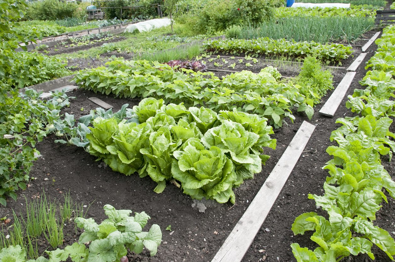 Vegetable Planting Guide For Zone 8 Tips On Growing Vegetables