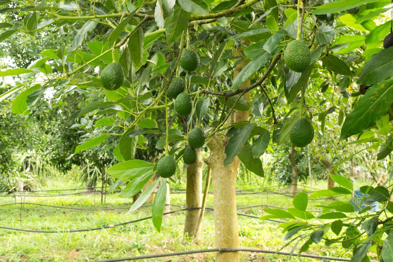 Do Avocados Grow In Zone 9 Learn About Avocado Trees For Zone 9 Gardens