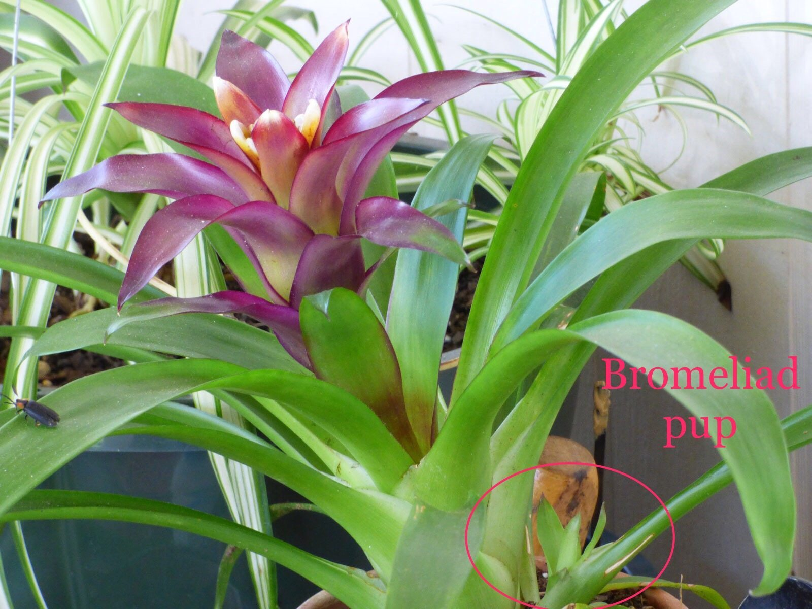 Pup Starts From Bromeliad Plants Tips On Planting Bromeliad Pups