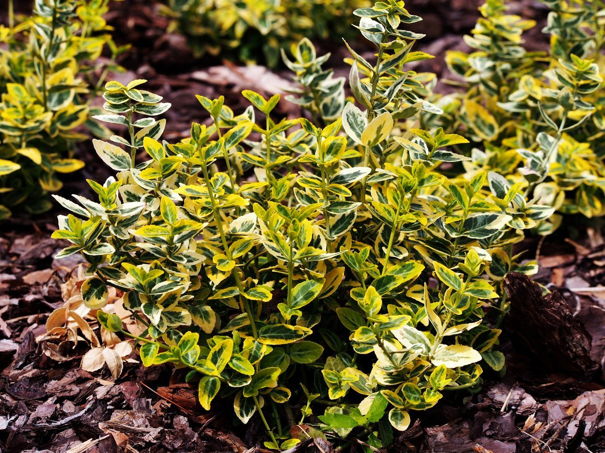 Choosing Euonymus Shrubs What Are Some Popular Euonymus Plant