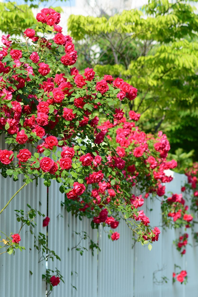 Choosing Climbing Roses For Zone 9 What Are Popular Zone 9