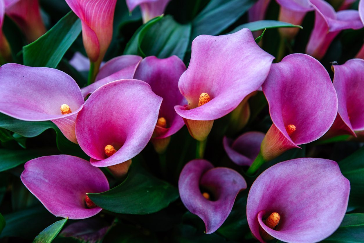 Are Calla Lilies Annual Or Perennial Tips On Keeping Callas Year